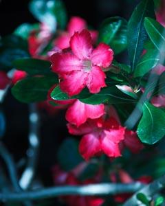 Briland Hibiscus
