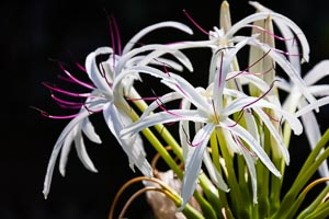 Bahamas Spider Lilly